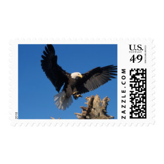 bald eagle Haliaeetus leuccocephalus landing Postage Stamps