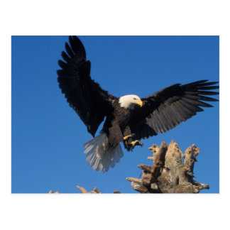 bald eagle, Haliaeetus leuccocephalus, landing Postcard