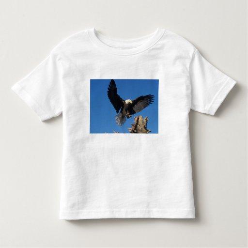 bald eagle, Haliaeetus leuccocephalus, landing Tee Shirts
