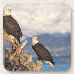 bald eagle, Haliaeetus leuccocephalus, pair Drink Coasters