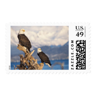 bald eagle Haliaeetus leuccocephalus pair Stamp