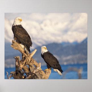 bald eagle, Haliaeetus leuccocephalus, pair Poster
