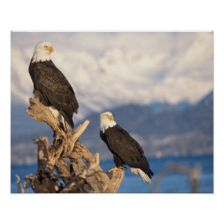 bald eagle, Haliaeetus leuccocephalus, pair Print