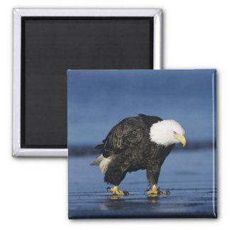 Bald Eagle, Haliaeetus leucocephalus,adult 2 Inch Square Magnet