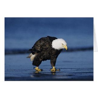 Bald Eagle, Haliaeetus leucocephalus,adult Card