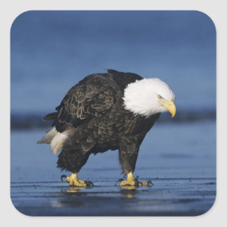 Bald Eagle, Haliaeetus leucocephalus,adult Square Sticker