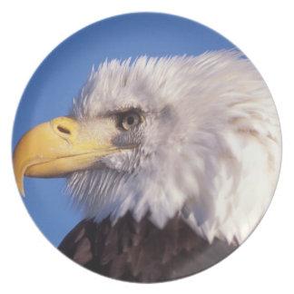 bald eagle, Haliaeetus leucocephalus, close up, 2 Dinner Plate