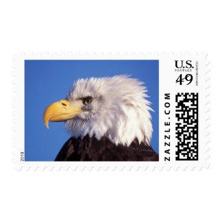 bald eagle Haliaeetus leucocephalus close up 2 Stamps