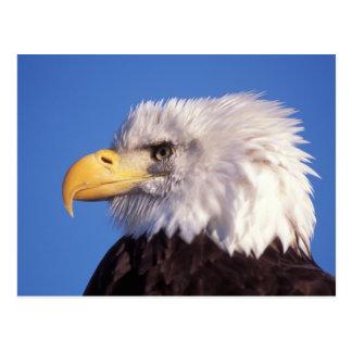 bald eagle, Haliaeetus leucocephalus, close up, 2 Postcard