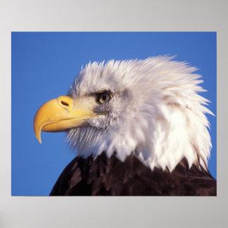 bald eagle, Haliaeetus leucocephalus, close up, 2 Poster