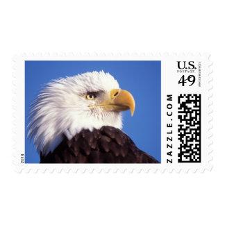 bald eagle Haliaeetus leucocephalus close up 3 Stamp