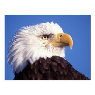 bald eagle, Haliaeetus leucocephalus, close up, 3 Postcard