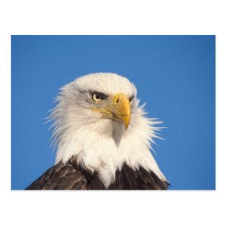 bald eagle, Haliaeetus leucocephalus, close up, Postcard