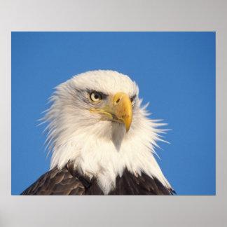 bald eagle, Haliaeetus leucocephalus, close up, Poster