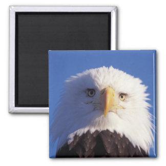 bald eagle, Haliaeetus leucocephalus, head shot, Magnet