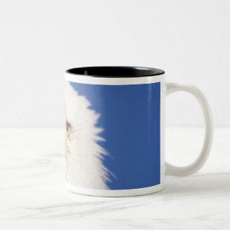 bald eagle, Haliaeetus leucocephalus, head shot, Two-Tone Coffee Mug