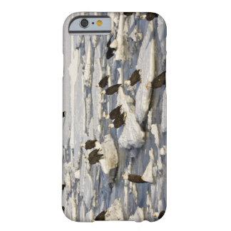 Bald Eagle, Haliaeetus leucocephalus, Homer, 2 Barely There iPhone 6 Case