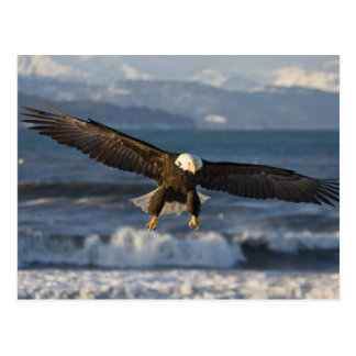 Bald Eagle, Haliaeetus leucocephalus, Homer, 3 Postcard
