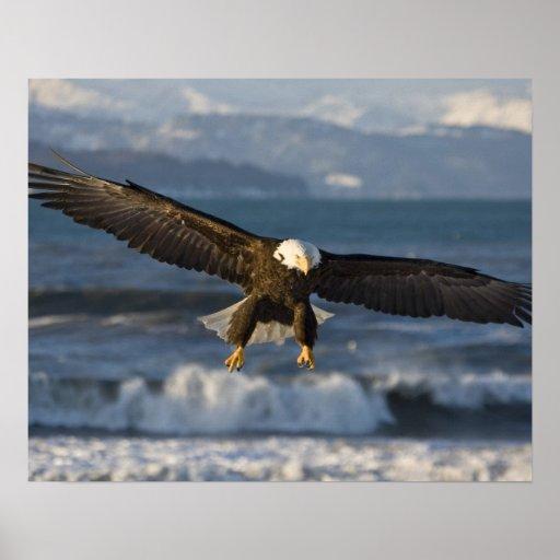 Bald Eagle, Haliaeetus leucocephalus, Homer, 3 Poster