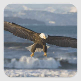 Bald Eagle, Haliaeetus leucocephalus, Homer, 3 Square Sticker