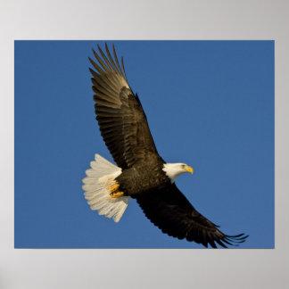 Bald Eagle, Haliaeetus leucocephalus, Homer, Poster