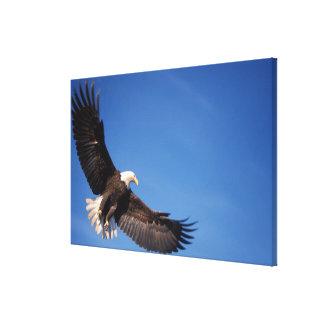 bald eagle, Haliaeetus leucocephalus, in flight 2 Canvas Print
