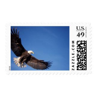 bald eagle Haliaeetus leucocephalus in flight 2 Postage
