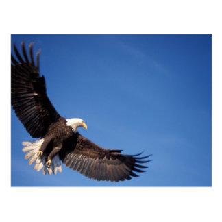 bald eagle, Haliaeetus leucocephalus, in flight 2 Postcard