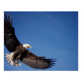 bald eagle, Haliaeetus leucocephalus, in flight 2 Poster