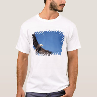 bald eagle, Haliaeetus leucocephalus, in flight 2 T-Shirt