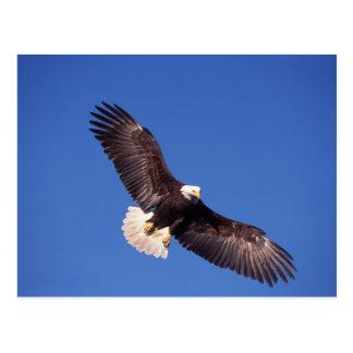 bald eagle, Haliaeetus leucocephalus, in flight 3 Postcard