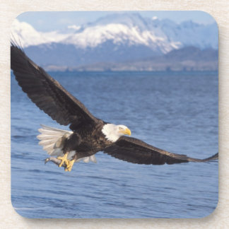 bald eagle, Haliaeetus leucocephalus, in flight 4 Beverage Coaster