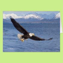 bald eagle, Haliaeetus leucocephalus, in flight 4 Card