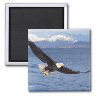 bald eagle, Haliaeetus leucocephalus, in flight 4 2 Inch Square Magnet