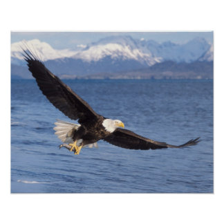 bald eagle, Haliaeetus leucocephalus, in flight 4 Poster