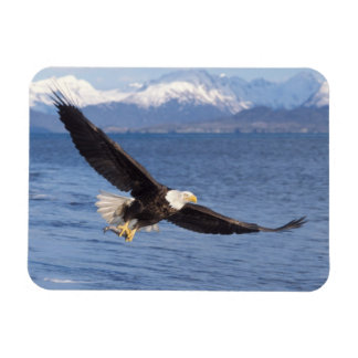 bald eagle, Haliaeetus leucocephalus, in flight 4 Rectangular Photo Magnet
