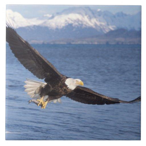 bald eagle, Haliaeetus leucocephalus, in flight 4 Ceramic Tiles