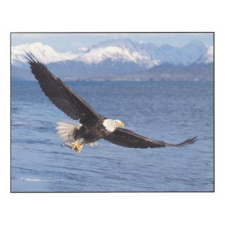 bald eagle, Haliaeetus leucocephalus, in flight 4 Wood Print