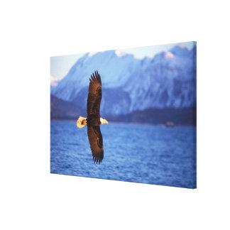 bald eagle, Haliaeetus leucocephalus, in flight Canvas Print
