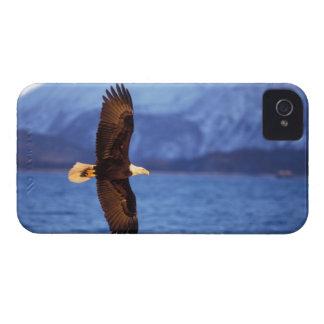 bald eagle, Haliaeetus leucocephalus, in flight iPhone 4 Cover