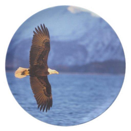bald eagle, Haliaeetus leucocephalus, in flight Plate