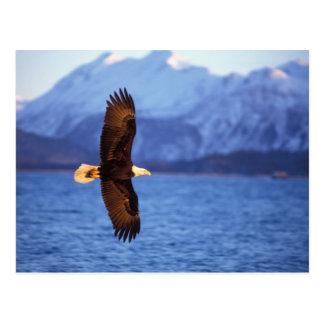 bald eagle, Haliaeetus leucocephalus, in flight Postcard