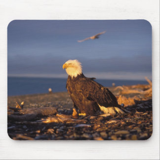 bald eagle, Haliaeetus leucocephalus, on a beach Mouse Pad