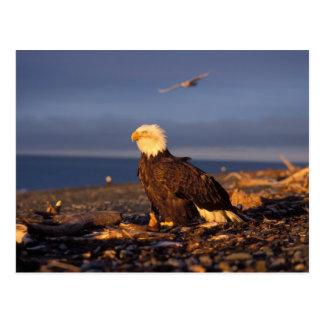 bald eagle, Haliaeetus leucocephalus, on a beach Postcard