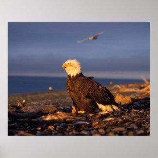 bald eagle, Haliaeetus leucocephalus, on a beach Poster