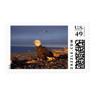 bald eagle, Haliaeetus leucocephalus, on a beach Stamp