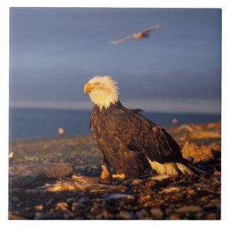 bald eagle, Haliaeetus leucocephalus, on a beach Tile