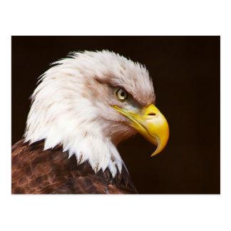 Bald eagle (Haliaeetus leucocephalus) Postcard