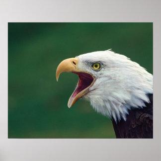 Bald Eagle (Haliaeetus leucocephalus) Poster