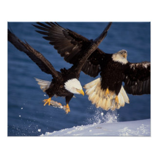 bald eagle, Haliaeetus leucocephalus, taking off Poster